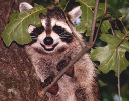 2011 Amateur Liz Bennett Cheek, Smiling Raccoon